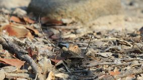 Ground agama camouflaged between brown leaves and twigs. Ground agama agama aculeta camouflaged on brown rock. The agama is a small, long-tailed, insectivorous royalty free stock image