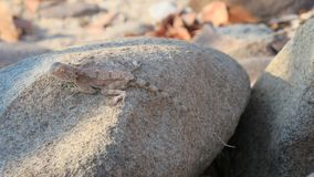 Ground agama camouflaged on grey brown rock. Ground agama agama aculeta camouflaged on brown rock. The agama is a small, long-tailed, insectivorous Old World royalty free stock images