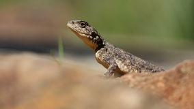 Ground agama Stock Photography