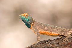 Ground agama Royalty Free Stock Image