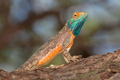Ground agama Royalty Free Stock Photography
