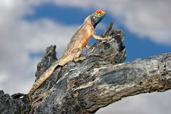 Ground agama Stock Images