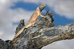 Ground agama. Male ground agama (Agama aculeata) sitting in a tree, Kalahari desert, South Africa Stock Images