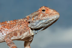Ground agama portrait Royalty Free Stock Photography