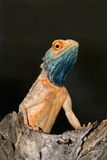 Ground agama, South Africa Stock Photography