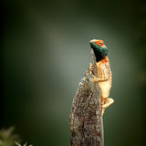 Ground agama sunbathing Royalty Free Stock Photo