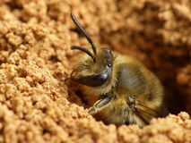 Ground Bee Emerging Royalty Free Stock Photography