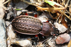 Ground beetle – beautiful bronze bug. Beautiful big bug a fine sample for your entomological collection Royalty Free Stock Image