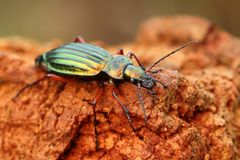 Ground-beetle. Macro of very fancy ground-beetle Stock Photography