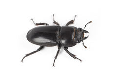 Ground beetle Royalty Free Stock Images