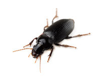 Ground beetle Royalty Free Stock Photos
