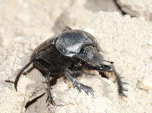 Ground beetle Stock Photography