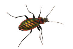 Ground beetle Stock Image