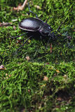 Ground beetle, carabus Royalty Free Stock Images