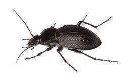 Ground beetle (Carabus hortensis) Stock Photography