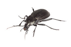 Ground beetle (Carabus hortensis) Stock Image