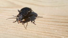 Ground beetle Carabus hortensis is on a wooden board.  stock video
