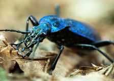 Ground beetle - Carabus intricatus Stock Image