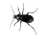 Ground beetle - Carabus nemoralis Stock Images