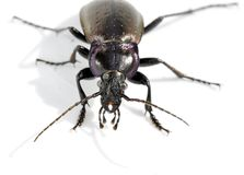 Ground beetle Carabus nemoralis Royalty Free Stock Photos