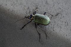 Ground Beetle Royalty Free Stock Photography