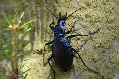 Ground beetle. On fir in forest Royalty Free Stock Photo