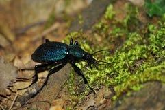 Ground beetle 2 Stock Photos