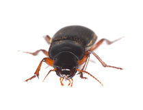 Ground beetle isolated on white background. Royalty Free Stock Photo
