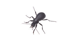 Ground beetle Stock Photo