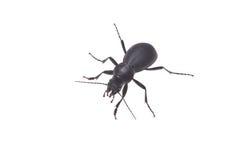 Ground beetle. Isolated on white background Stock Photo
