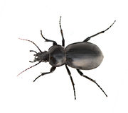 Ground beetle isolated on white background Royalty Free Stock Images
