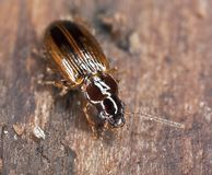 Ground beetle sitting on wood Royalty Free Stock Photos