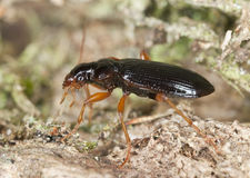 Ground beetle on wood Royalty Free Stock Image