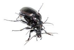 Ground beetles Carabus nemoralis Royalty Free Stock Images