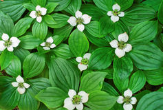 Ground Bunchberry Stock Photography