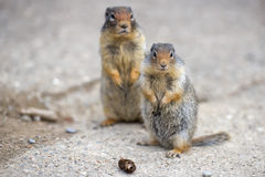 Ground canadian squirrel Royalty Free Stock Photo