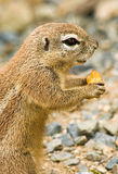 Ground cape squirrel. Lateral view of squirrel eating a bit fruit Royalty Free Stock Photos