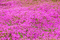 Ground carpet of pink delosperma flowers. Stock Photography