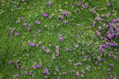 Ground cover Stock Photography