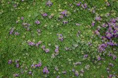 Ground cover. Mendocino botanical garden Stock Photography