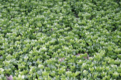 Ground Cover. A background of green ground cover Royalty Free Stock Photos