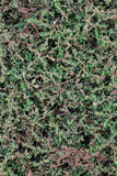 Ground cover plant background Stock Image