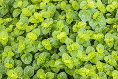Ground cover plant Royalty Free Stock Images