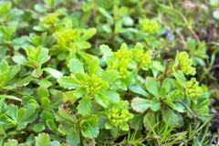 Ground cover plant sedum for Alpine hill. Landscape design Royalty Free Stock Image