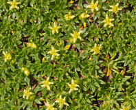Ground cover plant with small yellow flowers close up Stock Images