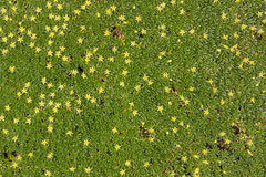 Ground cover plant with small yellow flowers Royalty Free Stock Image