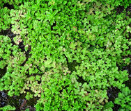 Ground Cover Succulents Royalty Free Stock Photography