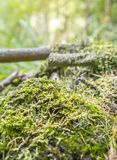 Ground cover vegetation. Closeup with moss and lichen Royalty Free Stock Photos