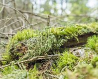 Ground cover vegetation. Closeup with moss and lichen Royalty Free Stock Images