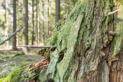 Ground cover vegetation. Closeup shot of a dense ground cover vegetation on a tree trunk with moss and lichen in forest ambiance Stock Photo